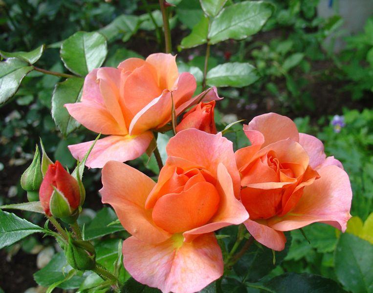 Более 200 сортов этих шикарных розовых кустов выведено селекционерами