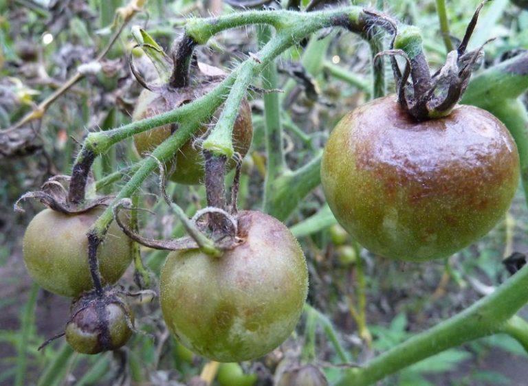 Серая гниль поражает плоды, листья и стебли томатов