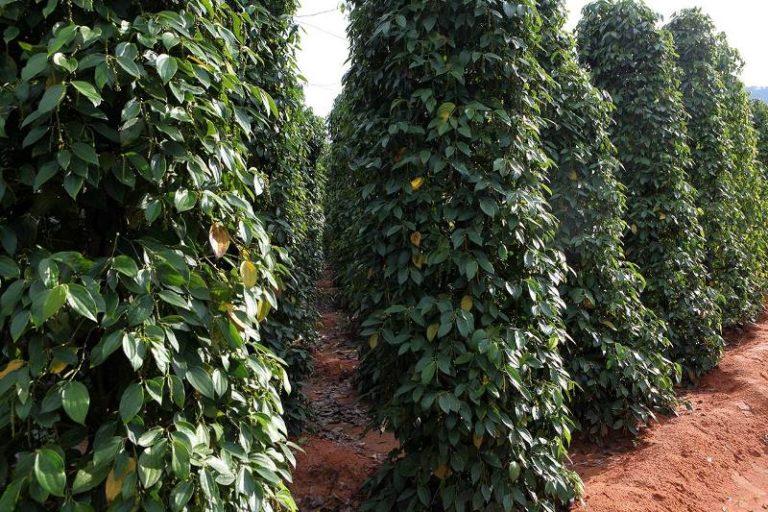 Сегодня, когда перец выращивают на специальных плантациях, рост лианы ограничивают подпорами высотой до 5 м, чтобы плоды было удобнее собирать