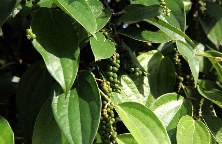 В тропических странах с жарким и влажным климатом, где только и может расти перец, растение начинает плодоносить только на 3 -4 году жизни