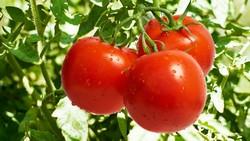 Для успешного развития помидоров необходимо их правильно удобрять