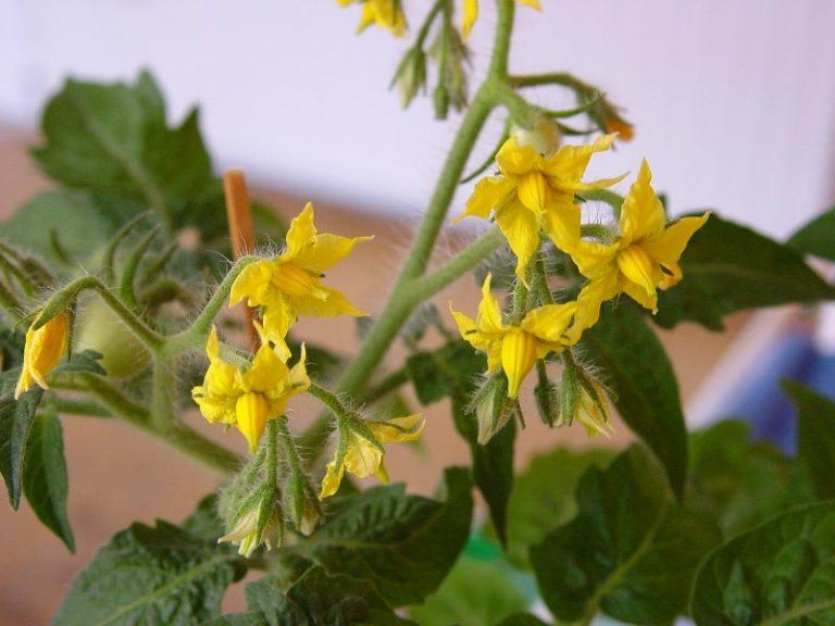 При выращивании томатов очень важно оказать должный уход в период цветения