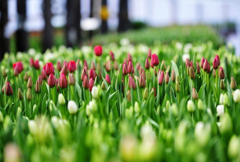 Место, которое вы выбираете для посадки тюльпанов, должно быть хорошо освещено