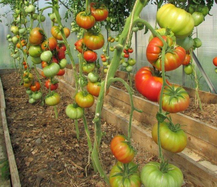 Среднеранний, индетерминантный, высокорослый томат сорта Дикая роза относится к розовоплодным овощам