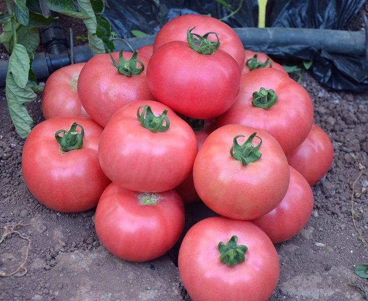 Розовые спелые томаты наделены кисло-сладким вкусом, мякоть сочная, корочка помидора нежная