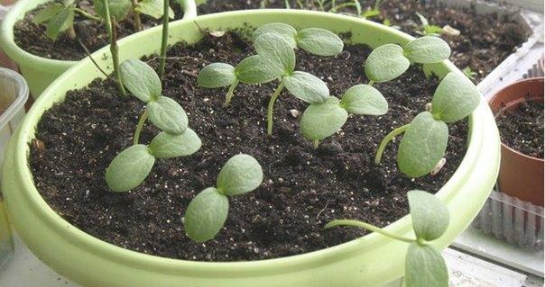 Посев семян на рассаду лучше проводить дома, когда можно создать благоприятную атмосферу и наилучшие условия для прорастания семян и развития всходов