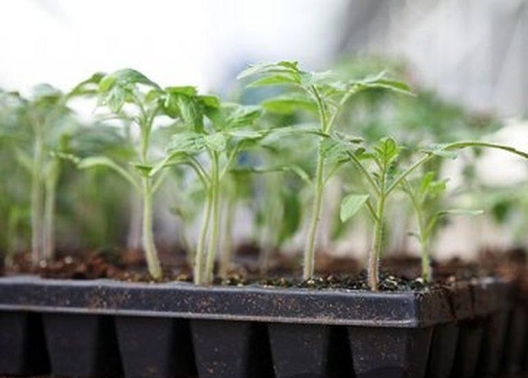 В лунном календаре даются советы о том, какие культуры сажать на рассаду в тот или иной день, а какой период неблагоприятен для посева томатов и перцев, огурцов и кабачков