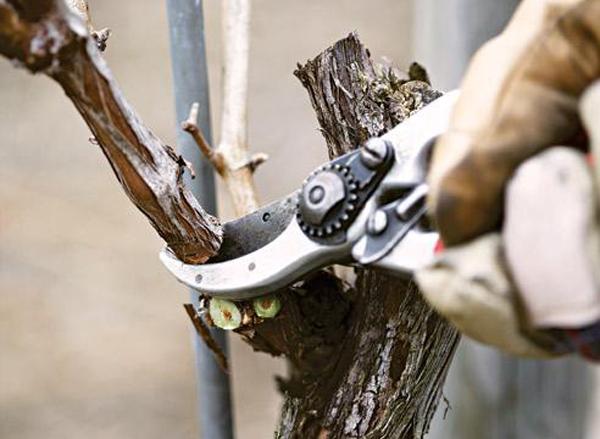 После начала заморозков у винограда обрезают невызревшие побеги