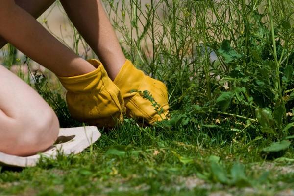 В середине июля стоит провести работы по ликвидации сорняков