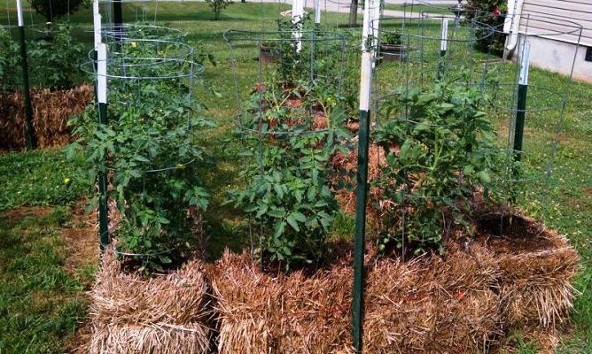 Так как сорт низкорослый, то для выращивания необходимо предоставить достаточную площадь