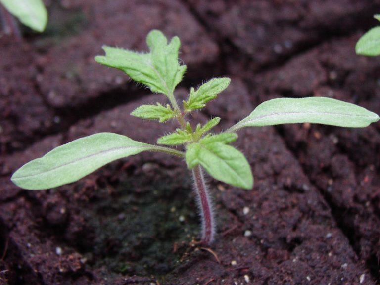 Можно сколь угодно собирать необходимые семена и садить их повторно - помидоры будут идентичными