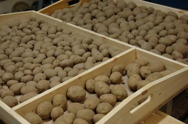 В январе и феврале закладывается на яровизацию семенной картофель