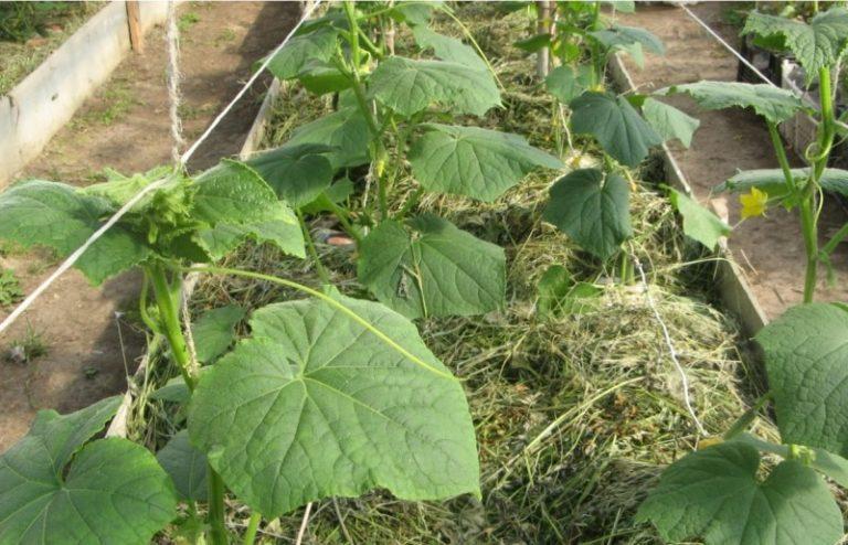 Огурцы терпимы к различным видам почв, но лучше всего растут на легких, с хорошим дренажом
