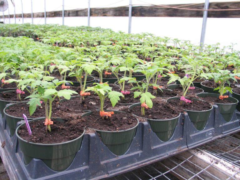 Рассада томатов вырастет здоровой и крепкой, если семена посадить в феврале или даже раньше