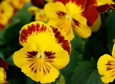 Расцветают эти цветы рано