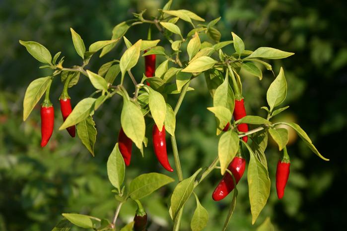 Для взрослых растений очень важны регулярные и обильные поливы
