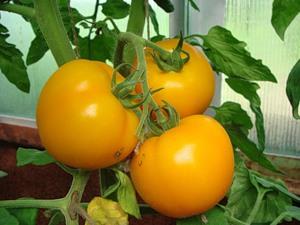 Преимущество томатов Эльдорадо – это повышенная устойчивость к такой опасной болезни, как фузариоз