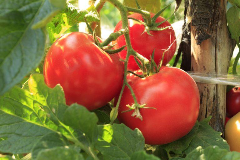Чтобы получить высокий урожай помидоров в парнике или тепличке, нужно защитить растения от заболеваний