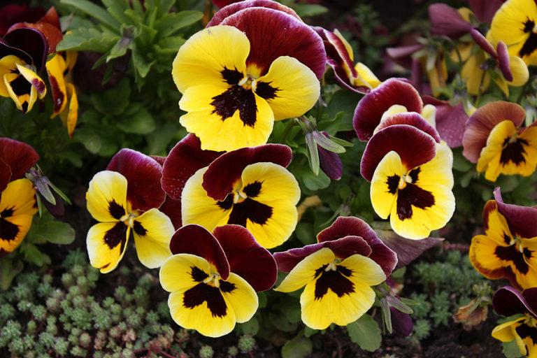 Фиалку не обязательно всаживать каждый год, достаточно просто не обрывать увядшие цветки