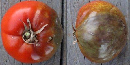 В холодное, дождливое лето или в конце дачного сезона огородников часто волнует, чем обработать помидоры от фитофторы