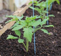 Правильная посадка помидоров в 2017 году по лунному календарю выполняется с обязательным учётом климатических и почвенных особенностей
