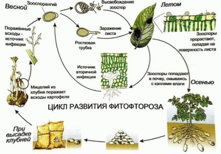 Сырость является одним из основных катализаторов развития фитофторы