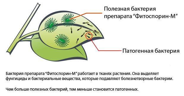 Чтобы растения действительно были надежно защищены, необходимо правильно применять этот препарат