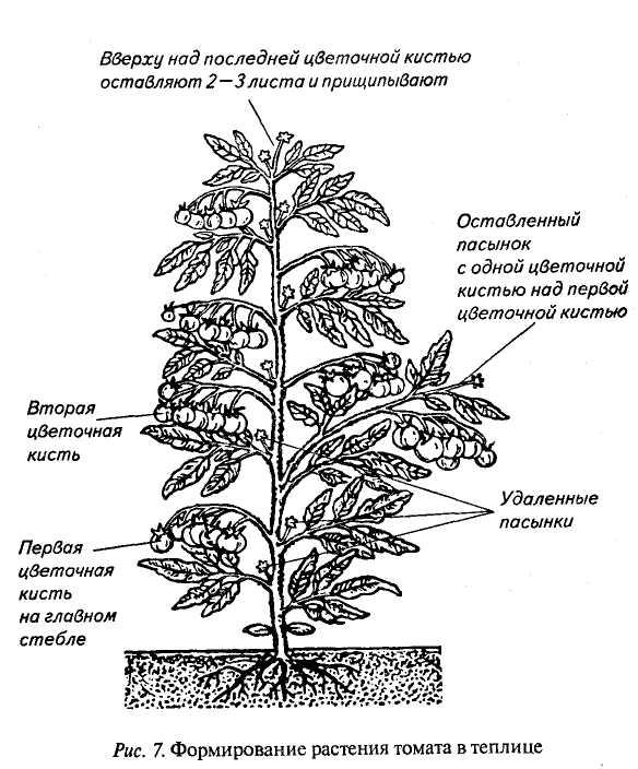 Сама процедура удаления ненужных элементов растения должна проводиться не более 1 раза за неделю