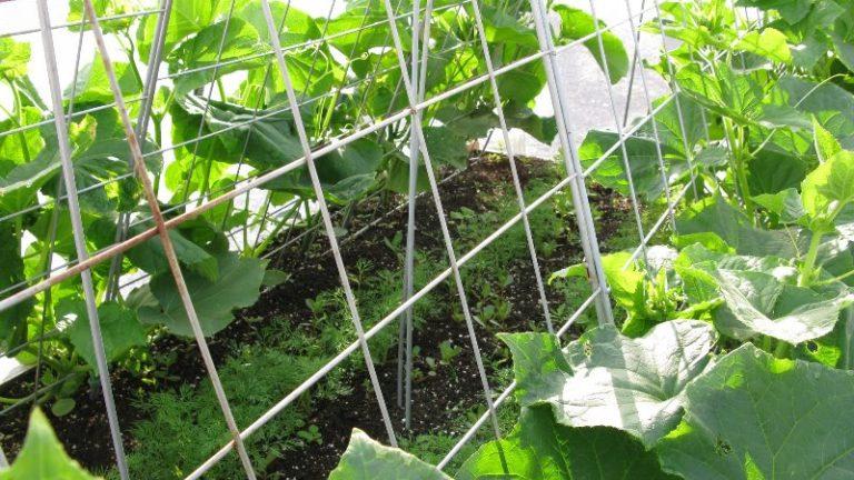 Огурцы — это однолетние травянистые лианы, которые, как и положено таким растениям, состоят из корня, стебля, листьев, цветов и плодов