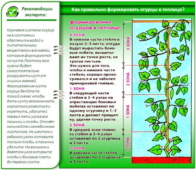 В результате всех этих действий обычно удается вырастить экземпляры с допустимой длиной плети и максимальной урожайностью