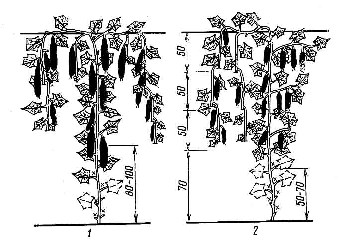 Для того чтобы правильно формировать огурцы, нужно все время контролировать их плетение