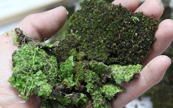 В теплице на грядках мох встречается довольно часто