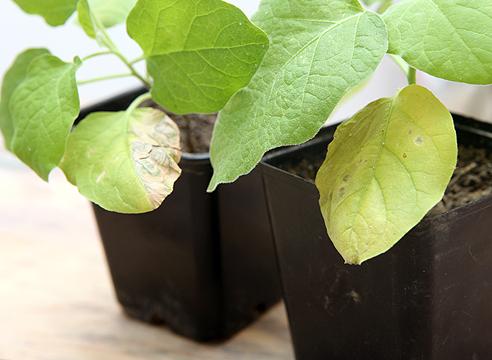 Листья могут желтеть из-за недостатка азота