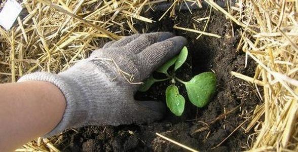 Грунт, где будет высаживаться баклажан, должен иметь высокий уровень плодородности и быть насыщенным минеральными веществами