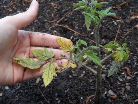 Причинами того, что желтеет рассада помидор в теплице могут являться как различные заболевания, так и неправильный уход