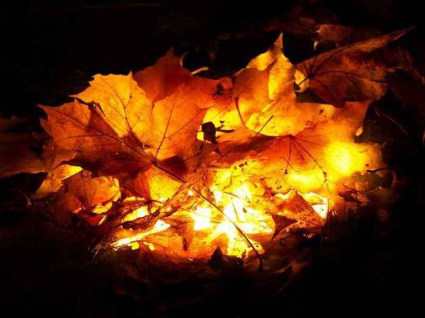 Все пораженные болезнью кусты требуется собрать, унести за пределы сада и сжечь
