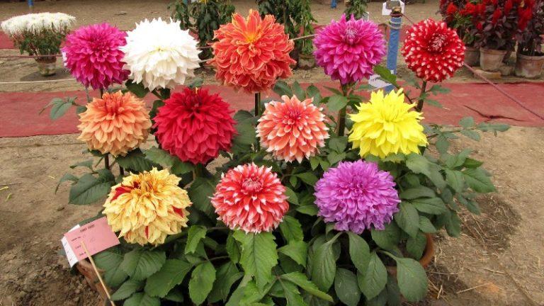 Для выращивания растения дома необходимо выбрать свободный и широкий цветочный горшок