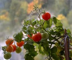 Огородники часто не могут найти причину того, почему помидоры в теплице вырастают мелкими