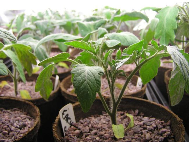 Выращивание томата начинается с выбора качественной рассады
