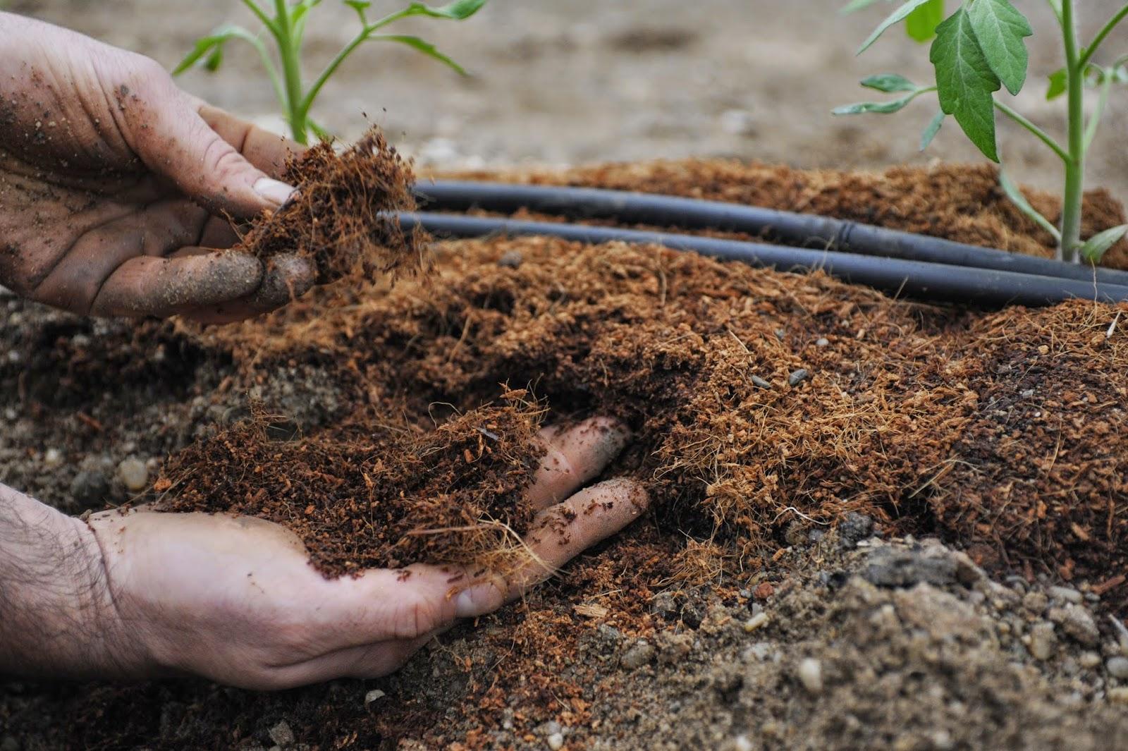 После высадки рассады в грунт почва обильно поливается водой