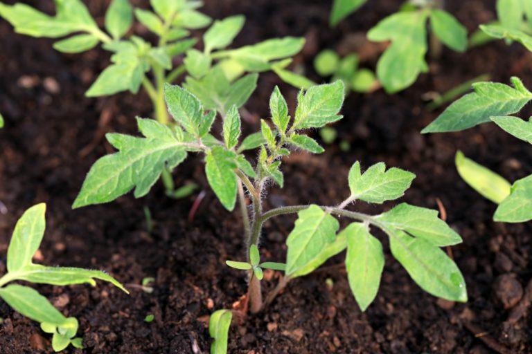 Отсутствие роста у помидоров может быть следствием отсутствия подкормки или негативной реакцией на неправильно подобранные удобрения