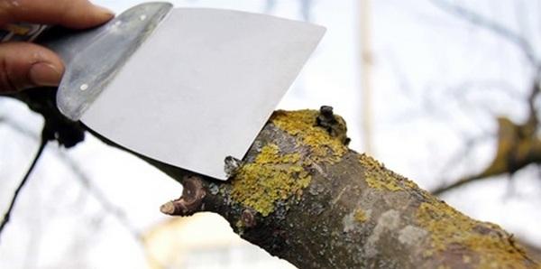 Избавиться от мха на деревьях можно вручную