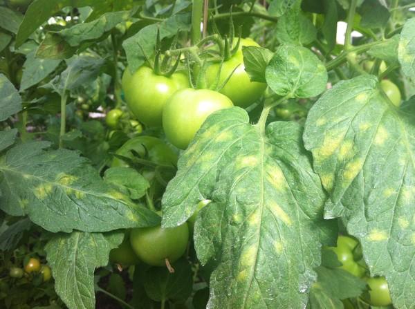 Для кладоспориоза характерны оранжевые пятна на листьях помидор нижних ярусов