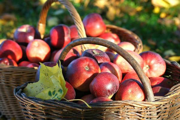 Основная деятельность в сентябре – сбор яблок