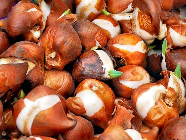 Луковицы, готовые к выгонке, можно приобрести в специализированном цветочном магазине