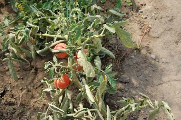 Было выявлено, что обычно помидоры, которые были высеяны в открытый грунт, меньше страдают этим опасным грибковым заболеванием