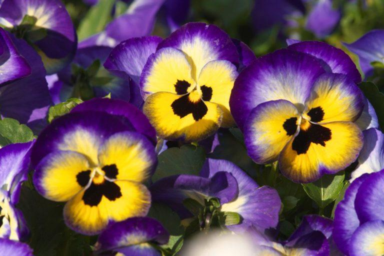 Анютины глазки среди цветоводов приобрели огромную популярность благодаря своей декоративности