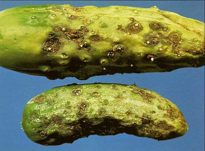 В особенно запущенных случаях болезнь поражает всю поверхность кожуры, придавая ей характерный бурый оттенок
