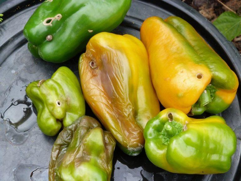 Плоды, которые уже подверглись заражению, нужно удалить, а почву — засыпать золой и провести рыхление