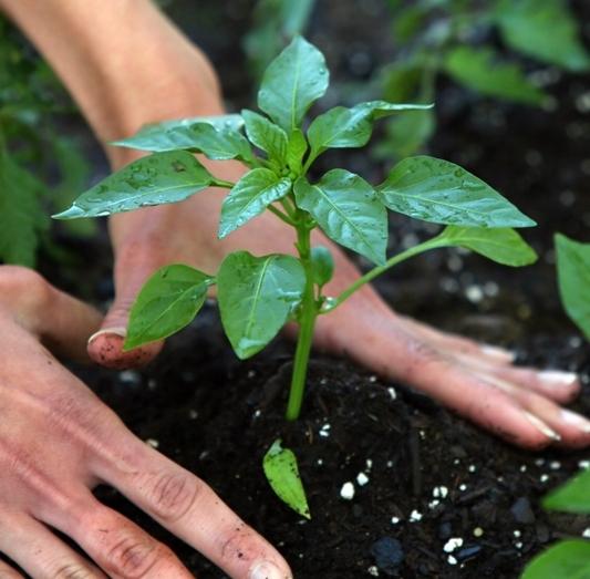 Пораженная почва должна быть заменена на новую, при посадке отдавайте предпочтение более сильным, выносливым растениям